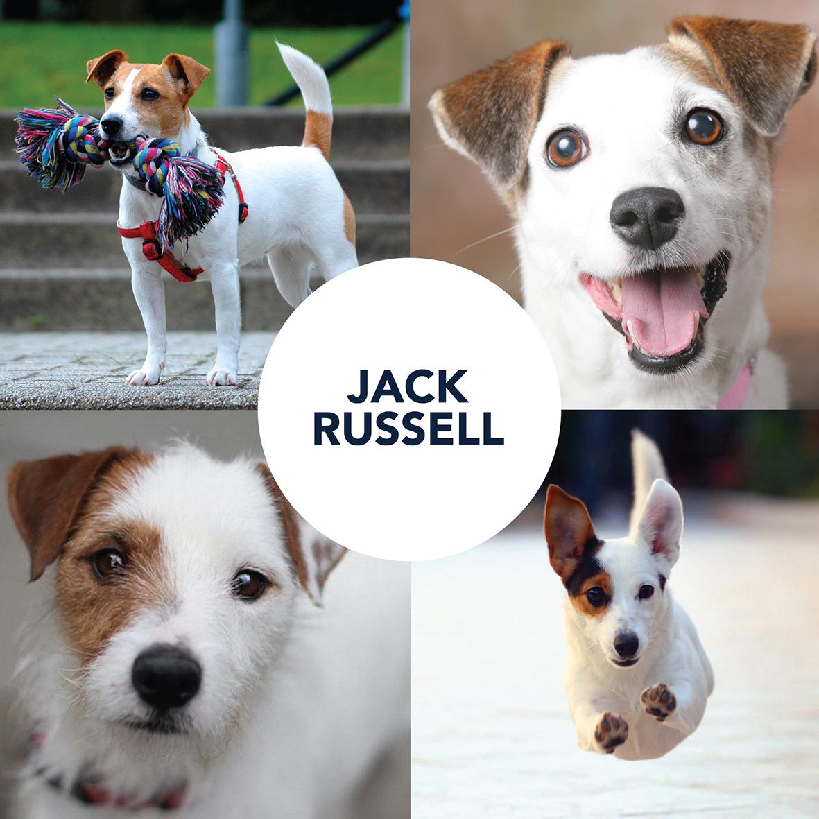 Jack Russell Vet  Autos Post