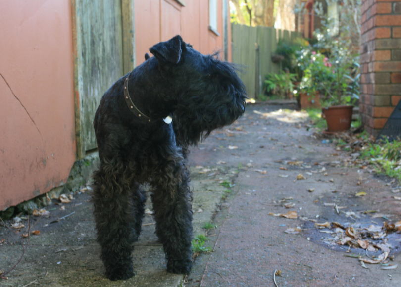 Kerry blue terrier - blog size.png